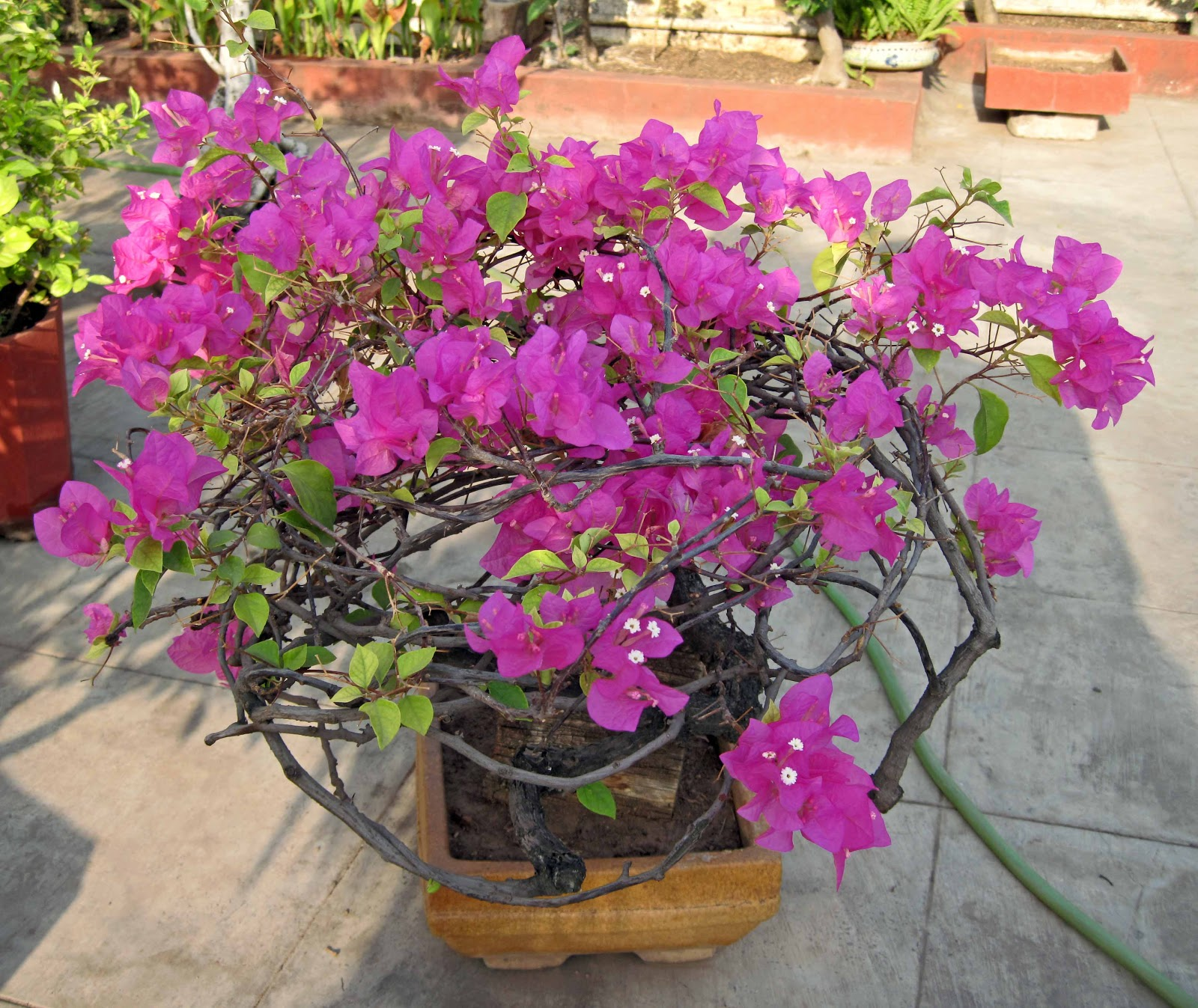 Stock Pictures Bougainvillea Bonsai