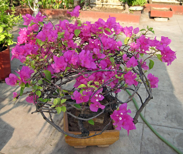 bogainvilla bonsai