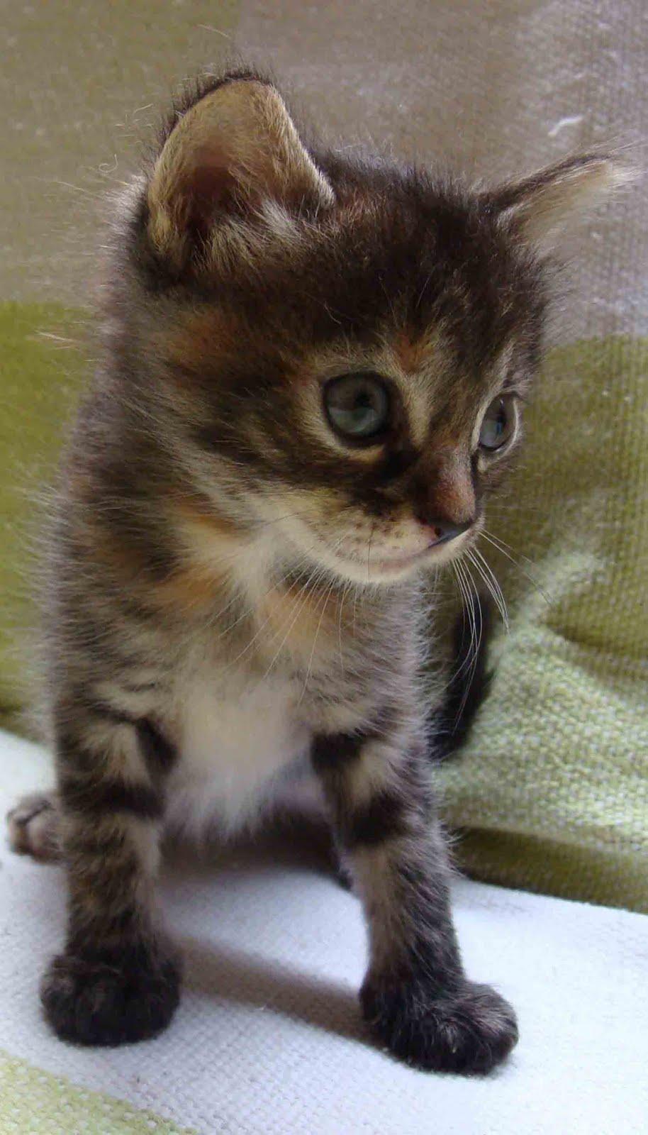 Amigo do bicho mais filhotinhos de gatos para ado o adotados - Cuidados gato 1 mes ...