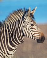 Hartmann Zebra auf Thula