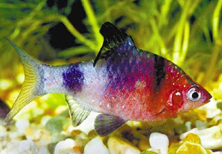 black ruby barbus nigrofasciatus