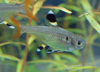 pristella riddlei fish picture