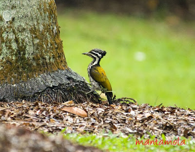 Colour Picture Singapore Bird on With The Unmistakable Gold Colour On The Back  This Is Indeed A Common