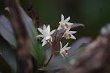Flower of Sikkim...
