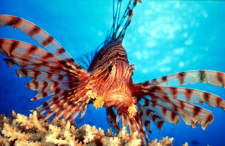 Lionfish or Turkey Fish