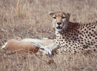 Cheetah Kills Gazelle