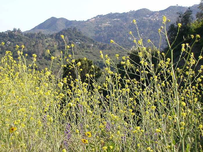 Wildflowers, Santa Monica Mtns