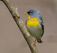 Parula
