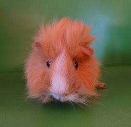 Peaches-A Special Needs Sanctuary Pig.