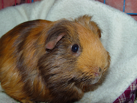 Piglet-A Sanctuary Pig with NC's All Creatures Rescue and Sanctuary