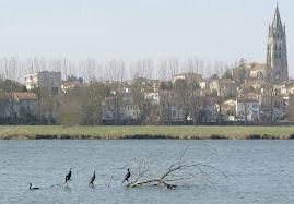 Les cormorans guettent