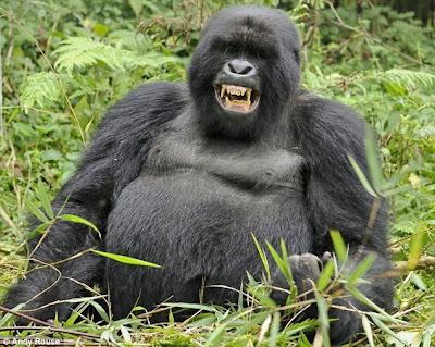 Drunken Gorillas 1
