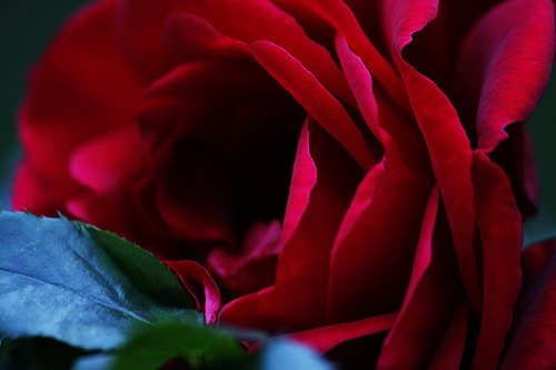 [Floweres_Rose_Red_Close+up.jpg]