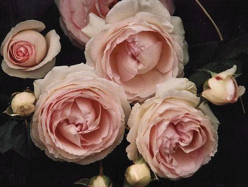 [Flowers_1_Roses_Pink.jpg]