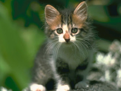 cute cat wallpapers. cute cat wallpapers.