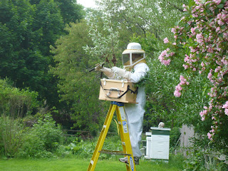 rob deichert collecting swarm of honey bees