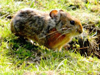 पहाड़ी चूहा