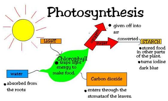 the significant roles of photosynthesis and Photosynthesis is incredibly important in numerous ways everything in an ecosystem is a part of a food web trees, plants, flowers, shrubs, algae, etc all need the sun in order to convert the .