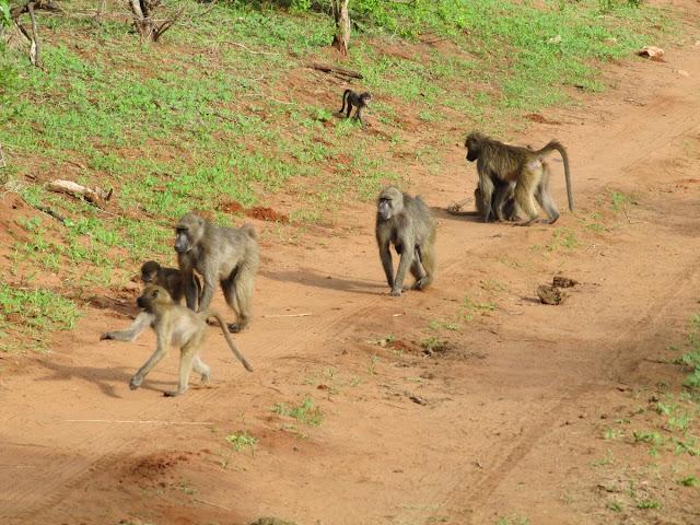 monos en grupo, monos de chobe