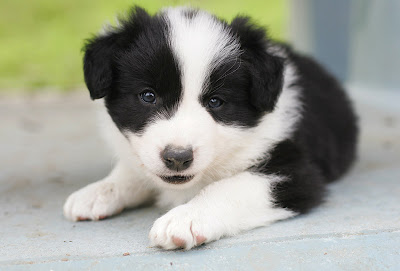 Little Friends Photo: Border Collie Puppies!