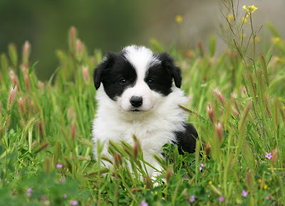 Collie Puppies on Spring Is Here And So Are Border Collie Puppies