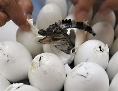 Telur Buaya Menetas