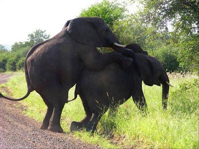 gajah ML