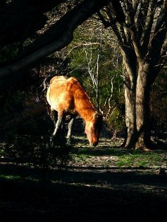 SHACKELFORD HORSE