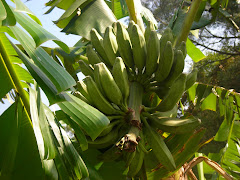 Green Bananas, 2009