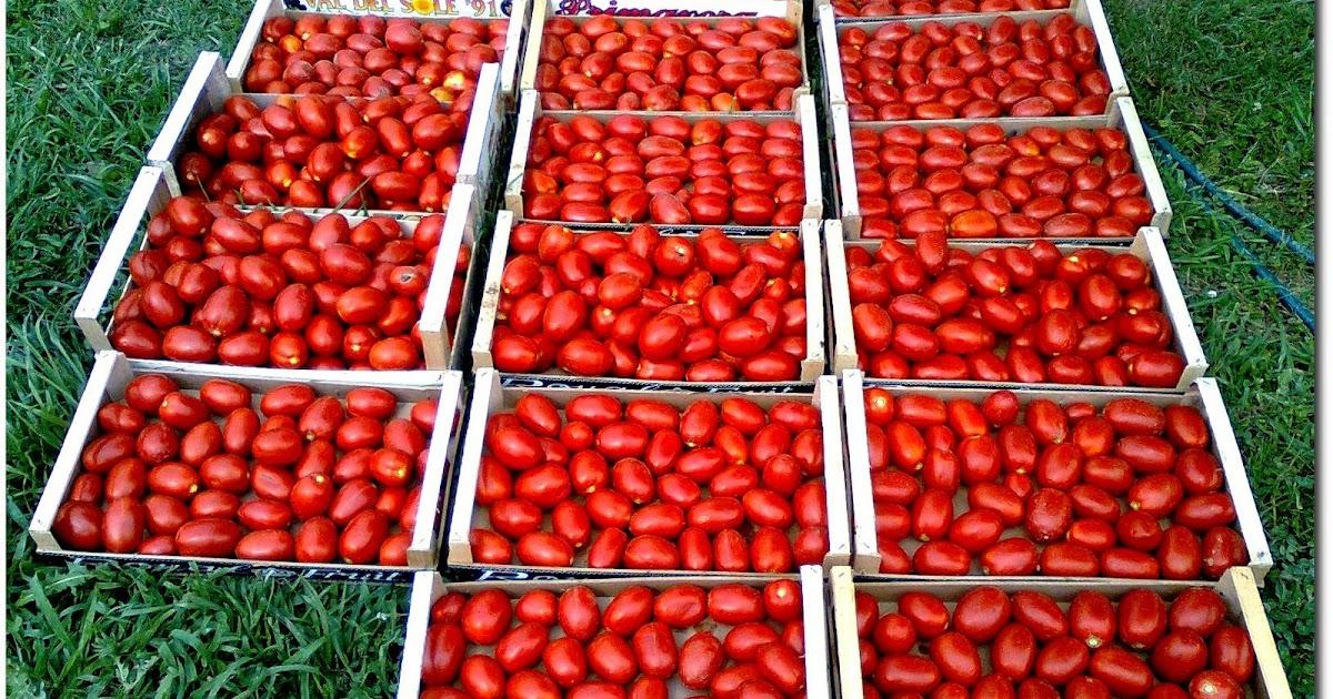 Frutta e verdura dal campo finalmente rosso - Cimice del pomodoro ...