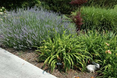 the lavender keeps company with daylilies and a japanese maple seedling