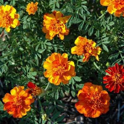 marigolds are ones of the queens of orange flowers