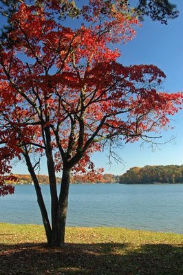 this old dogwood sentinel stands watch at the lake's edge of the park