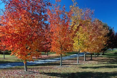 a colorful chorus line of maple trees strike their pose