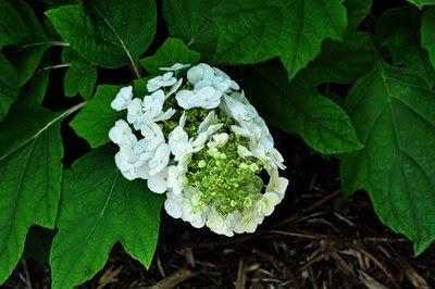oak leaf hydrangea bloom