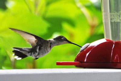 a female hummer takes a drink