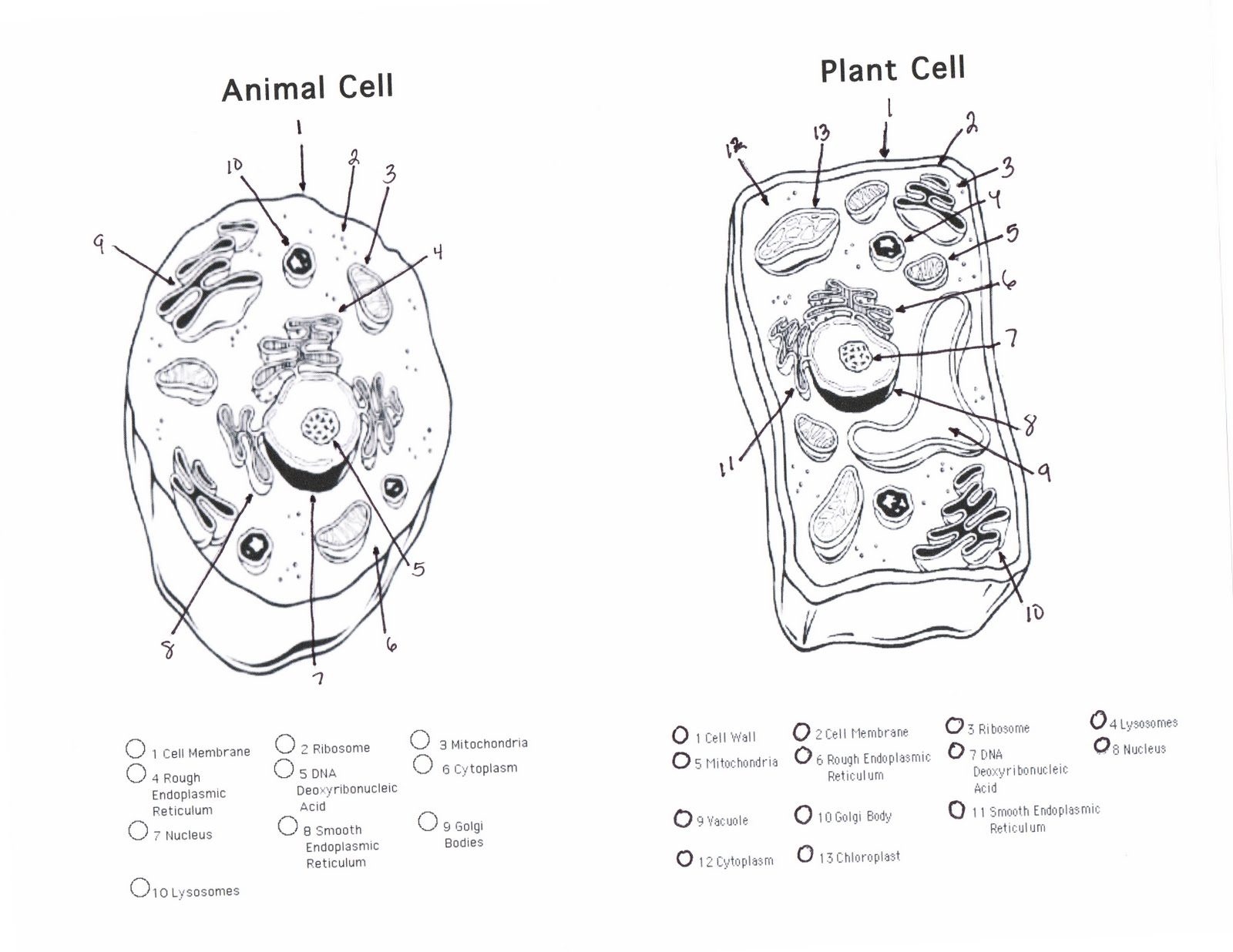 Black And White furthermore Plant And Animal Cell Diagram Worksheet ...