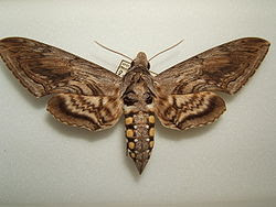 Five-Spotted Hawk Moth!