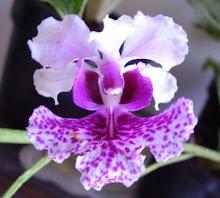 Bunga Anggrek Kupu-kupu rawa