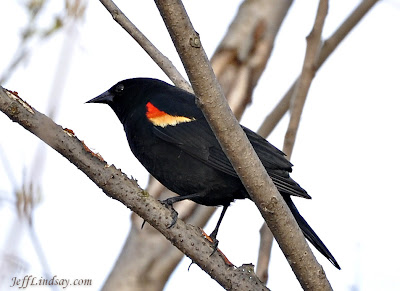 red-winged blackbird, appleton, wisconsin, in a tree by the fox river, wisconsin