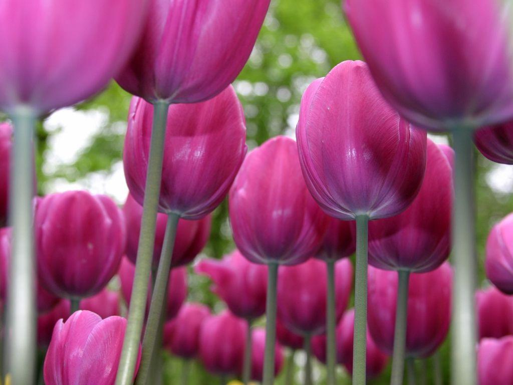 JuWyyta FloweR Gambar Bunga Tulip