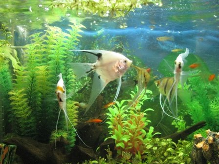 Beginner aquarium fish general knowledge about the aquarium for Beginner freshwater fish