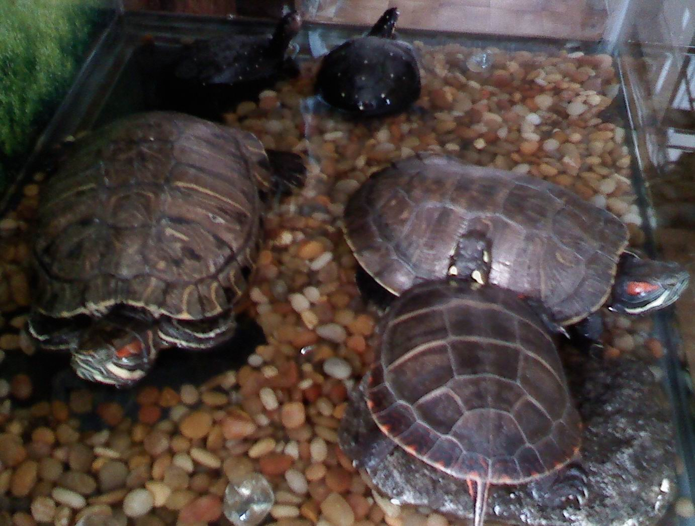 Keeping Turtles As Pets Dog Breeds Picture