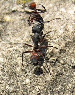 Ant buries the dead
