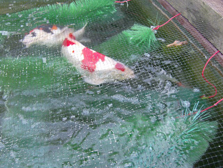 Koi carp for Koi reproduction