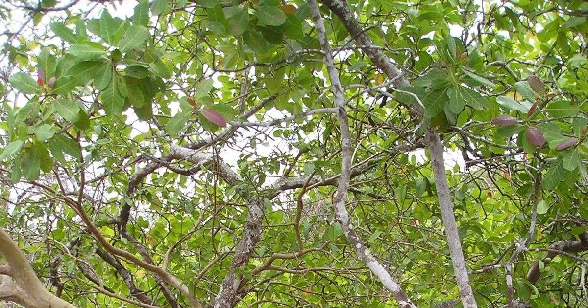 Arboles arbol del guayabo for Lista de arboles perennes