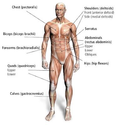 muskler på latin