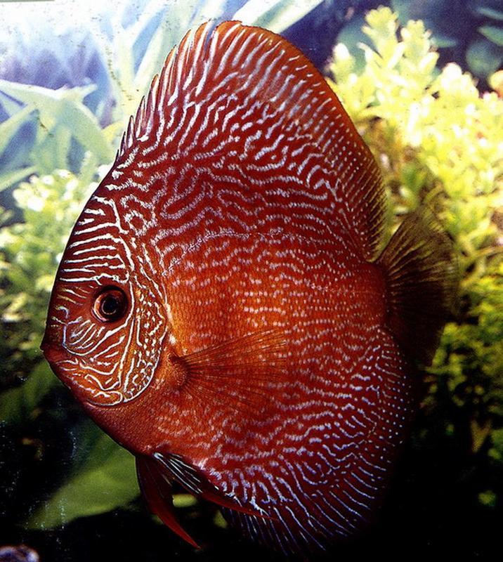 5 Discus Fish Top 10 Beautiful Freshwater Aquarium
