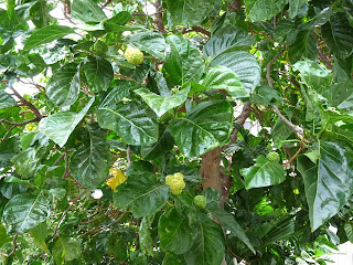 Noni fruit tree