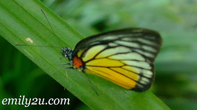 yellow black butterfly